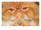 377028_bclose-up-of-red-tabby-cat-posters